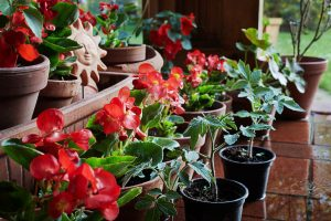 begonia and tomato plants on the patio